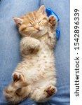 Stock photo small striped red kitten sleeps on its master s legs 1542896339