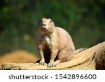 Black Tailed Prairie Dog Rodent ...