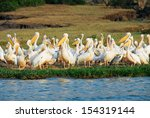 great white pelicans  kazinga... | Shutterstock . vector #154319144