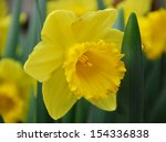 Daffodil Narcissus Yellow...