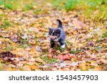 Stock photo a small kitten on the path with leaves kitten on a walk in autumn pet 1543457903