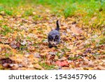 Stock photo a small kitten on the path with leaves kitten on a walk in autumn pet 1543457906