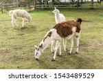 A large brown llama feeds milk to a small white llama and eats grass. Meadow on a llamas breeding farm.