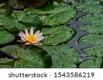 Amazing Hot Pink Water Lily Or...