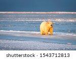 Polar bear walking on ice in the village of Kaktovik, Barter Island, Alaska.