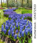 Snaking Bed Of Blue  Hyacinths...