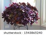 Oxalis Triangularis  Purple...