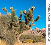 A tall, healthy Joshua Tree and other Mojave Desert plants at dawn in Spring Mountain Ranch State Park in Nevada