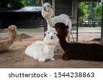 Alpaca Group In Alpaca Hill....