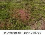 The Parasitic Plant Of Red...