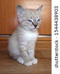 Stock photo siamese kitten sitting quietly on the floor the breeding of purebred siamese kittens 1544438903