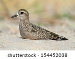 Small photo of American Golden-Plover (Pluvialis dominica) resting on a beach