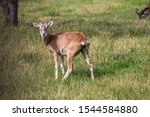Wild Mouflon Sheep  One Female...