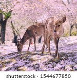 Small photo of Nara's Deer in Ethereal Pink Cherry Blossom Scene, Japan