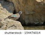 Emerald Spotted Dove   Wild...