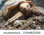 Stock photo close up african spurred tortoise resting in the garden slow life africa spurred tortoise 1544802500