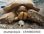 Stock photo close up african spurred tortoise resting in the garden slow life africa spurred tortoise 1544802503