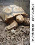 Stock photo close up african spurred tortoise resting in the garden slow life africa spurred tortoise 1544802506