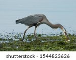 Heron Has Caught A Very Large...