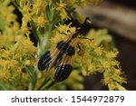 Banded Net Winged Beetle ...