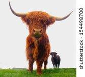 Isolated Close Up Of Highland...