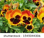 Pansy Flowers  Close Up. Viola...