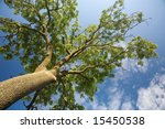 crown of the tree and blue... | Shutterstock . vector #15450538