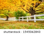 Golden Autumn Maple Trees And...