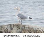 Stock photo american herring gull larus argentatus standing on rock near ocean 1545090689