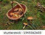 Many Edible Fungi In Basket....