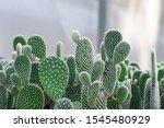 Close Up Of Opuntia Cactus...