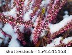 Purple Heather Flowers In Snow...