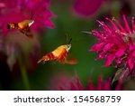 Hummingbird Moths Feeding On...