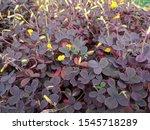Close Up Of Dark Purple  Heart...