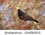 Blackbird Turdus Merula  Male...