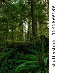 VERTICAL: Old tree chopped down deep in the Hoh Rainforest is covered by lush green moss and surrounded by ferns. Scenic shot of moss covered forest on the temperate weathered Olympic Peninsula. - stock photo