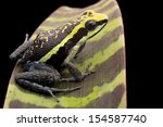 Small photo of Poison arrow frog Ameerega bassleri from the Amazon rain forest in Peru. A macro of a beautiful tropical amphibian with bright yellow colours. Poisonous animal exotic pet in a rainforest terrarium.