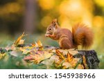 Cute Red Squirrel With Fluffy...