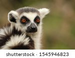 Portrait Of Ring Tailed Lemur ...
