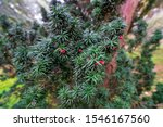 Green Branches Of Yew Tree With ...
