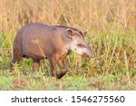Tapir  Lowland Tapir In The...