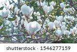 White Magnolia Flower Bloom On...