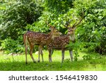 Cheetal Or Chital Deer  Also...