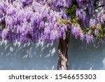 Flowering Wisteria Tree On...