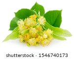 Flower Of Linden Isolated On...