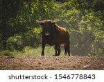 Bull In Spain   Image