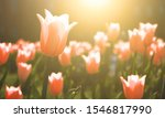 Pink Tulip Blooms Against A...