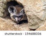 the bat eared fox  otocyon... | Shutterstock . vector #154688336