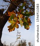 Small photo of Withered leaves of Pedunculate oak, autumn leaves, sky, pallid sky, trunk, leaves and twigs, Komerowo, Pomerania, Poland
