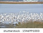 Hundreds Of Snow Geese Gathered ...